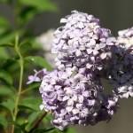 Lilacs at Last!