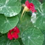 Nasturtium the Edible Flower
