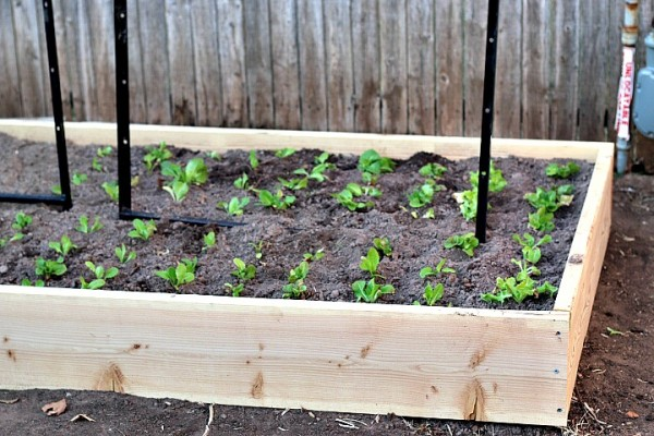 planting lettuce oklahoma