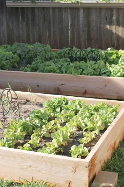 grow lettuce oklahoma