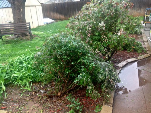 rose bushes oklahoma ice storm