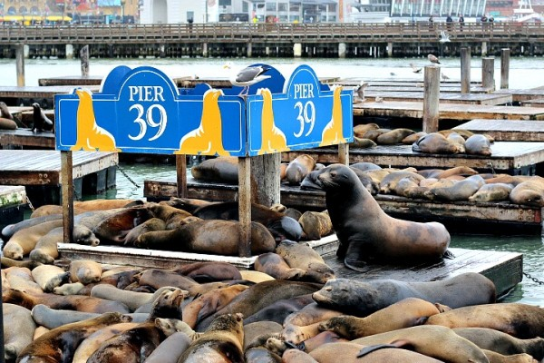 Sea Lions Pier 39 San Francisco