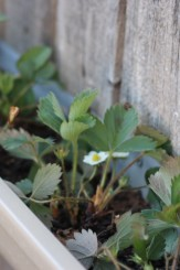 planting strawberries in gutters