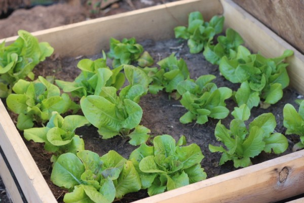 Grow buttercrunch lettuce