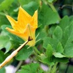 How to Self Pollinate Squash Blossoms