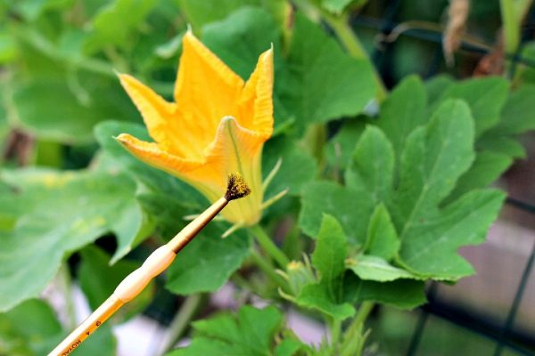 self polinate squash blossoms