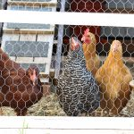 Chicken Diaries – Part 3 EGGS!